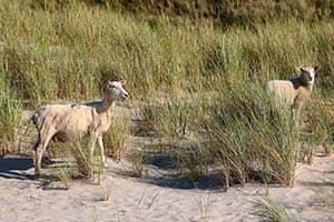 Schafe am Strand
